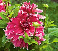 "Dahlia 'Frost Nip' - Blooms are 10"" across, deep pink and the tips of each petal are a pure white. Height 3-4'."