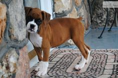 Flashy Fawn Boxer Puppy