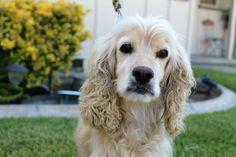 Cocker Spaniel dog for Adoption in Sherman Oaks, CA. ADN-697645 on PuppyFinder.com Gender: Male. Age: Adult