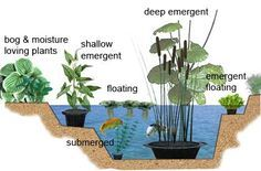 Edible Water Garden Design – Plants for a Future – the most comprehensive guide to edible and useful plants water garden cafe Gone are the d. Pond Plants, Aquatic Plants, Growing Plants, Garden Plants, Water Plants For Ponds, Edible Plants, Edible Garden, Pond Design, Garden Design