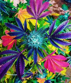 We like cannabis as you do :) We are proudly bringing you newest and most popular products infront of your door. Let´s enjoy canna life! Marijuana Art, Marijuana Plants, Medical Marijuana, Cannabis Oil, Weed Art, Buy Weed, Ganja, Hemp Oil, Trippy