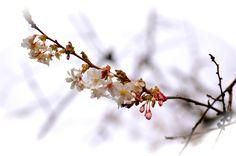April Cherry Bloosom