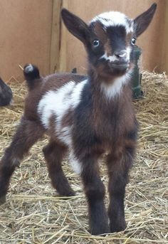 Country Sweet Farm - Nigerian Dwarf Goat Breeders, Dairy Goat, Nigerian Dwarf Dairy Goats