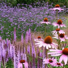 echinacea.liatris and more...