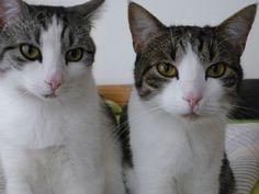 Arthos und Brutus Katze | Pawshake