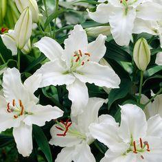 Oriental-lilja Rialto