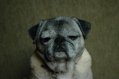Pug is not amused.