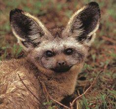 Bat-eared Fox  tee hee hee, they are so darn cute