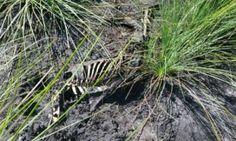 Greyhound remains Bundaberg Queensland