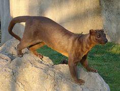 Le Fossa Le fossa est le plus grand prédateur résidant sur l'île de Madagascar, seul endroit au monde où il vit en liberté.