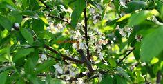 Cea mai simplă și ecologică schemă de tratamente chimice pentru toți pomii din livadă   Paradis Verde Fruit Trees, Grape Vines, Paradis, Gardening, Plant, Life, Lawn And Garden, Vineyard Vines, Vines