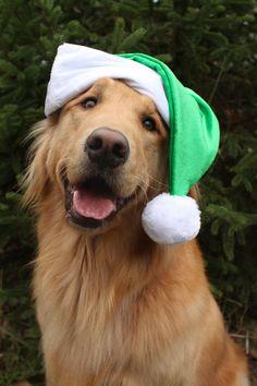 Christmas Golden Retriever Puppy #Holiday #Dogs