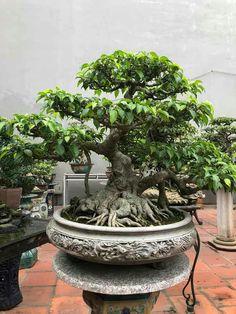 Bonsai Ficus, Bonsai Art, Bonsai Garden, Live Plants, Fountain, Outdoor Decor, Gardening, Locker, Beautiful Gardens