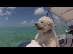 My favourite bichon video - love the swimming pig too - Bichon puppies in the Bahamas