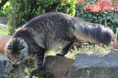 Maine Coon, black tabby mackerel (n 23). Barrier Castle´s Phönix