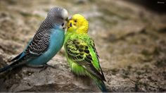 Love Of Two Birds