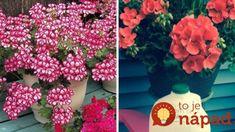 Najlepší domáci recept pre bujaré kvitnutie muškátov! Floral, Garden