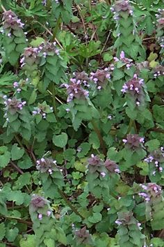 "A common North American ""weed"", Anti-inflammatory, natural antihistamine: dead nettle"