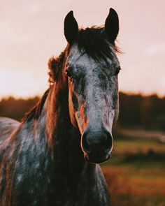 Sunset and horses Sunset and horses - Art Of Equitation Most Beautiful Animals, Beautiful Horses, Beautiful Creatures, Cute Horses, Horse Love, Horse Girl, Cavalo Wallpaper, Animals And Pets, Cute Animals