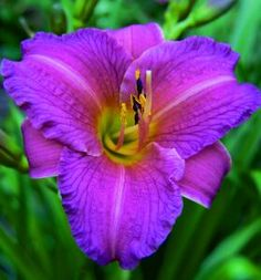 daylily - purple d'oro - A perfect match to the hugely popular Stella D′Oro Daylily! These lavender-purple blooms are a rich addition to your perennial garden. Re-bloomer to boot! Ideal alone or mass planted as a border. Ht. 40 cm (16 in