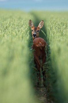 Roe deer – Chevreuil dans un champ de blé. by Alain Balthazard- Just beautiful!