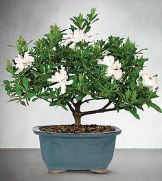 Blossoming Abundance Gardenia Bonsai - 6'H $49.99
