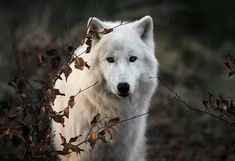 Imagem de wolf, animal, and white