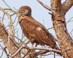 Águia-cobreira-castanha / Brown snake-eagle | Flickr - Photo Sharing!