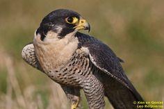 De slechtvalk (Falco peregrinus)
