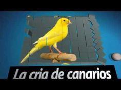 La cría de canarios (cruce de consanguinidad que no debemos hacer.)