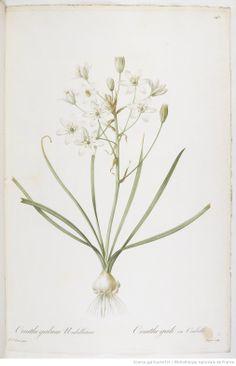 Les Liliacées, par P.-J. Redouté, Paris,1802-1816, Bibliothèque nationale de France, Botanical