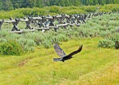 a raven on takeoff (Grand Tetons)
