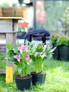 Kleine Callas im Topf #pflanze #pflanzenfreude #calla #topf #plant #garten