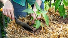How to Condition and Plant a Straw Bale Garden - Bonnie Plants | planting bell pepper in straw bale