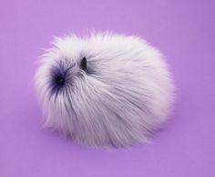 Kawaii plush stuffed toys - cuddly and furry friends  Grape Fizz the Purple and White Guinea Pig Stuffed Plush Toy