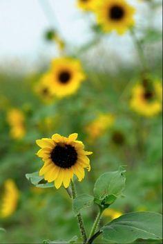 Field of Sunflowers by Karen Roie Forest