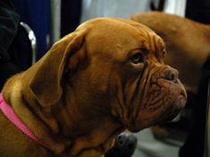 I am a Dogue de Bordeaux.  I may look tough & mean, but I'm really a sweet dog!