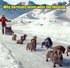 Why Germany never wins the Iditarod... #dachshund