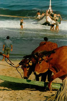 Portugal. traditional Fishing-boat pulled out of the waves by the cows. Praia de Mira #Portugal