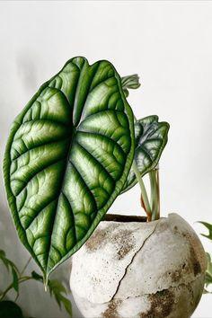 Diy Garden, Garden Plants, Greenhouse Plants, Garden Ideas, House Plants Decor, Plant Decor, Garden Furniture Inspiration, Alocasia Plant, Plant Aesthetic