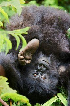Gorille de montagne, jeune. Rwanda