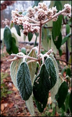 Frosted viburnum http://www.joenesgarden.com/plants-on-a-frosty-morning-2/