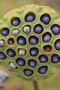 Lotus seed pod - these things freak me out. I get nasty chills looking at them.