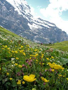 Wildflowers in Jungfraujoch, Switzerland