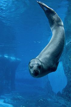 Leopard Seal-Love these little guys!!