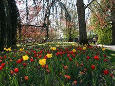Tulip Festival, Morges, Switzerland 2013 Tulip Festival, 2013, Switzerland, Nature, Tulip, Naturaleza, Nature Illustration, Outdoors, Natural