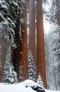 Snow covered giant Sequoia trees in the Sequoia & Kings Canyon National Park