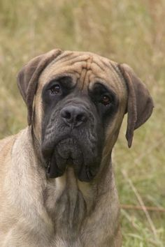 DreamAcres English Mastiffs pet classifieds dog breeders puppies for sale