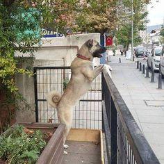 """Turkish Shepherd Dog """"Kangal"""""""