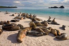 Photo about Galapagos Sea Lion colony at Gardner Bay on the island of Espanola in the Galapagos Islands - Ecuador. Image of lion, colony, beach - 18721947 Galapagos Islands Ecuador, Scary Animals, Animals Sea, Lion Images, Destinations, Couples Vacation, Underwater Creatures, Slow Travel, Archipelago